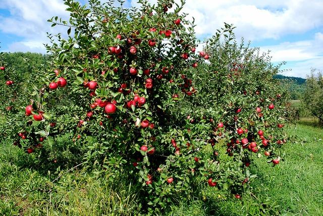 Apples formed