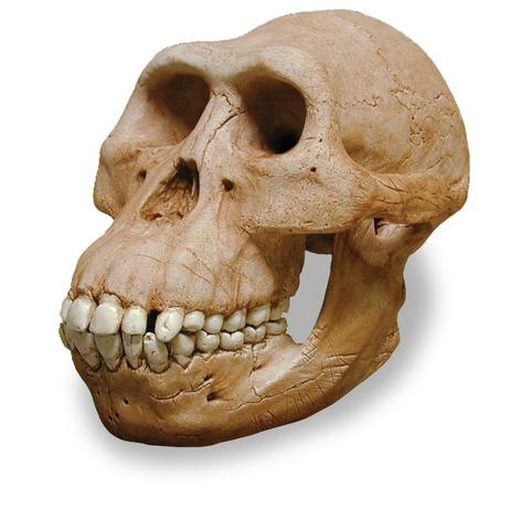 Early Hominids timeline   Timetoast timelines