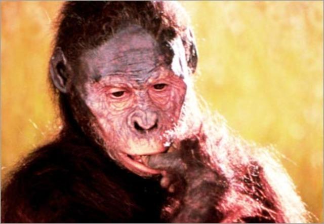 Australopithecus Afarensis (continued)