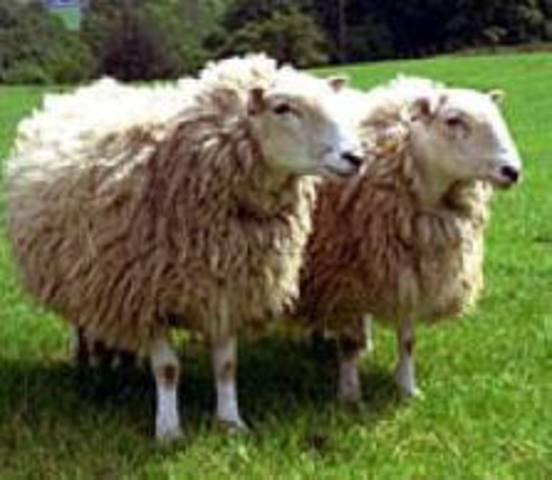 Scientists clone sheep