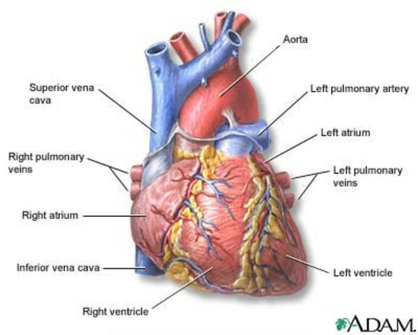 William Harvey Desribed the Circulation of Blood to and From the Heart.