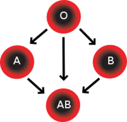 Major Blood Types are Identified by Karl Land Steiner