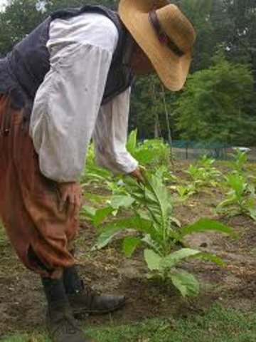 Jamestown farmers plant tobacco