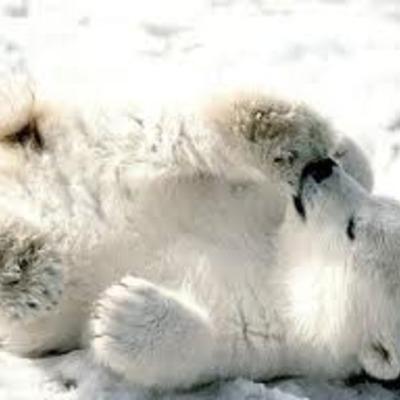 Polar Bears timeline