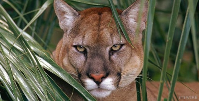 """A Panther Recovery Team, appointed by the U.S. Fish and Wildlife Service in 1976, presented an initial """"Florida Panther Recovery Plan"""" in 1981"""