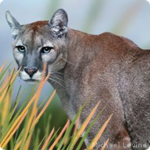 Florida panthers are listed as an endangered species in 1973, Florida panthers are protected by state and federal laws.