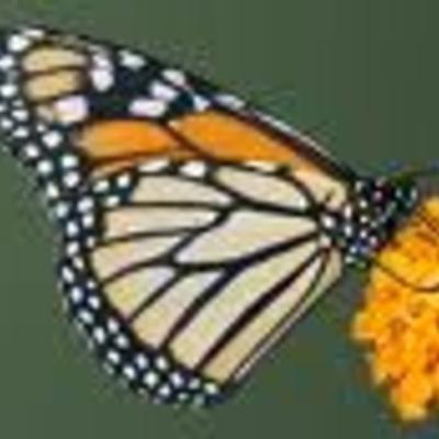 El nacimiento de la mariposa monarca timeline