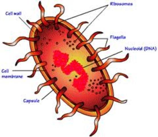 (1.5 BYA) Prokaryote