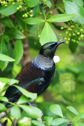 Disapperance of tui from Banks Peninsula