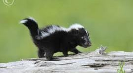 A Year in the Life of a Striped Skunk timeline