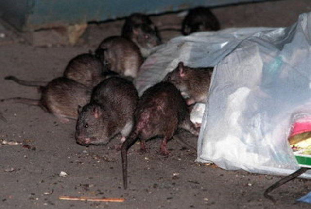 Woman Bitten by Rat While Waiting for J Train