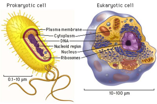 1.5 BYA Time for eukaryotic and prokaryotic