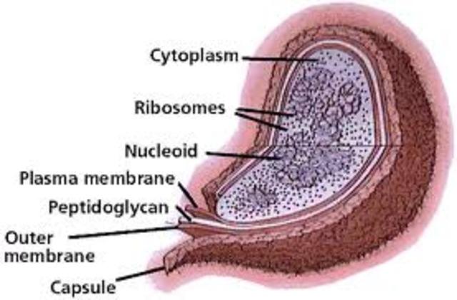 (1.5 BYA) Endosymbiosis