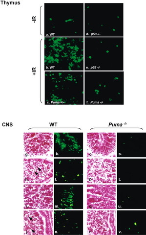 Puma mediates p53-dependent and –independent cell death