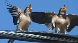 Birdsong Learning timeline