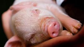 Piggies timeline