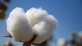 Cotton timeline