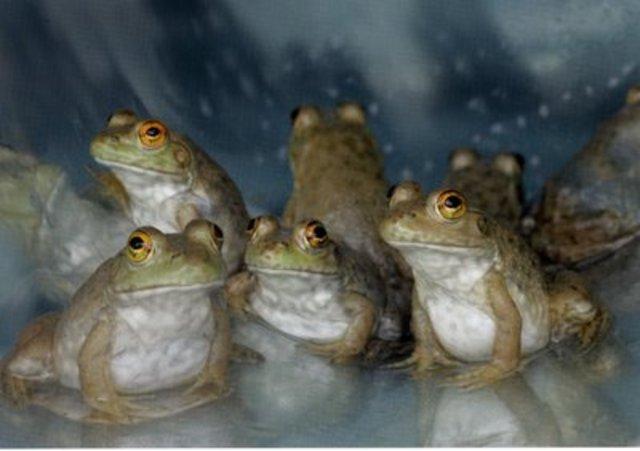 Clonacion de ranas