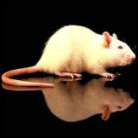 Primer raton transgenico