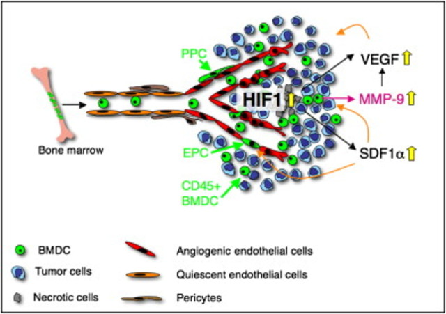 HIF-1 regulated tumorigenesis by recruiting BMDCs