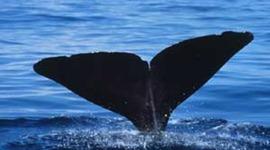 Evolution Proj - History of Whales (Cetacea) timeline