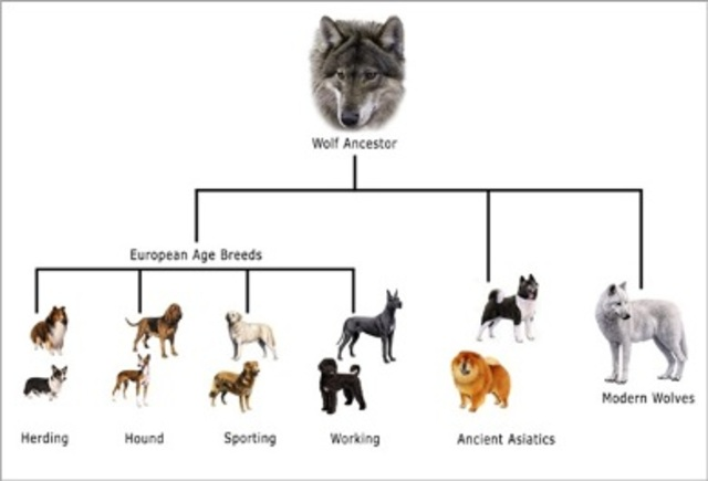 Dogs descend from ancient wolves