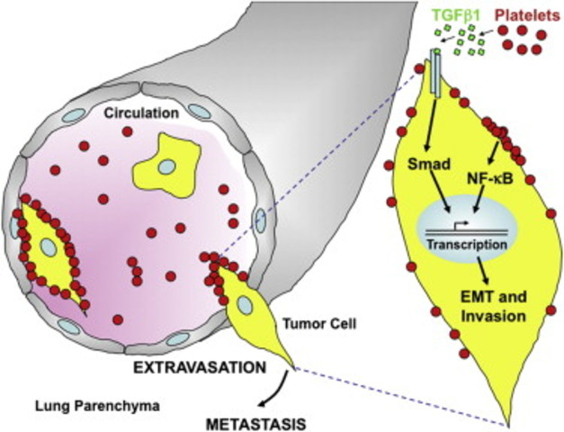 Platelet-to-tumor cell signals promote metastasis