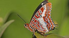 Butterfly timeline