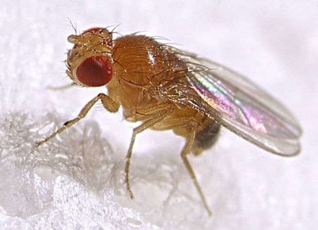Genetics of Fruit flies