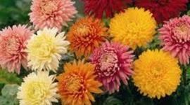 Chrysanthemum timeline
