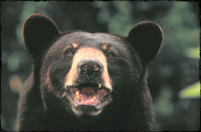 Black Bear and Cougar Attacks in Colorado, 1960-2011 ... Woman Head Silhouette