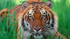 Sumatran tiger timeline