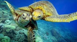 Sea Turtle Life Cycle timeline