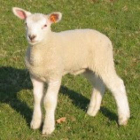 Clonació d'una ovella a partir de cèl·lules embrionàries