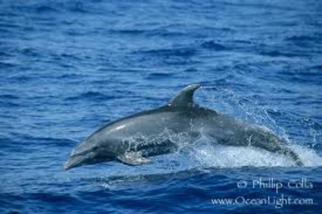 Bottlenosed Dolphin In Maui, Hawaii, USA