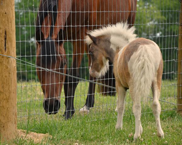 American Miniature Horse Association