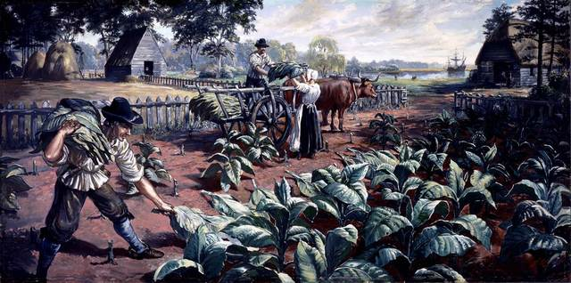 First tobacco harvest at Jamestown