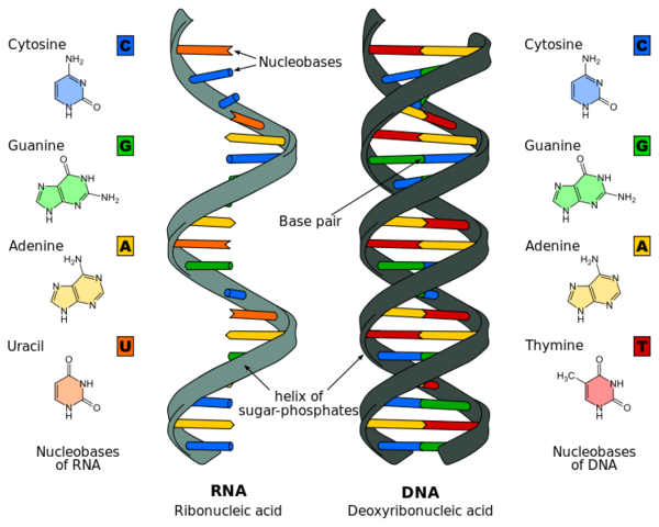 Adult dna id