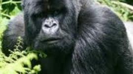 s.o.s. gorilas priscilla arslan y5a timeline