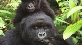 Isa, Giulia Y5A S.O.S gorilas timeline
