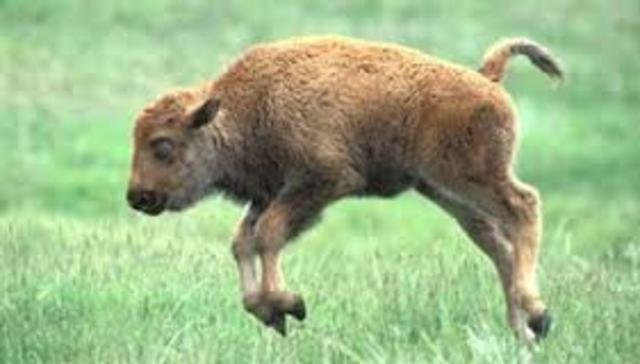 Rat Kiley kills a baby buffalo