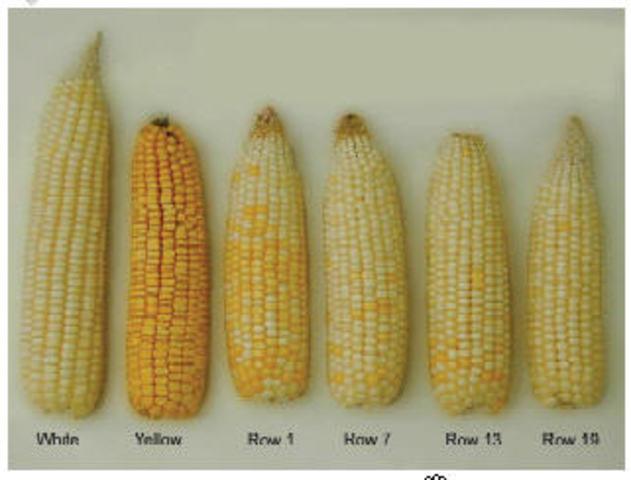 Cross- fertilization in corn is discovered.