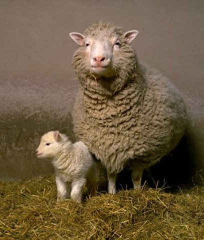 The first cloned animal, a sheep named Dolly.