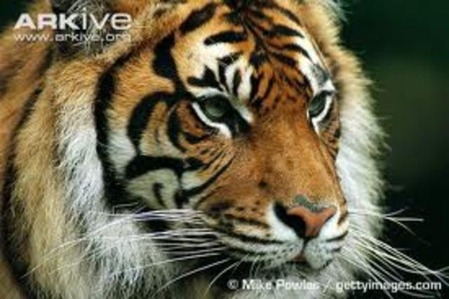 TIGER Iniciative