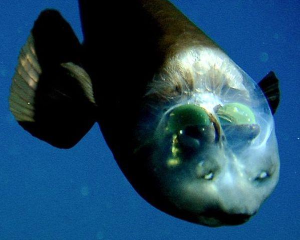 Pacific Barreleye (AKA spookfish)