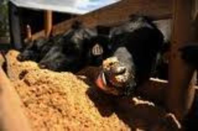 Caring for your Angus Heifer