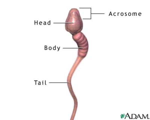 The Sperm Race Begins