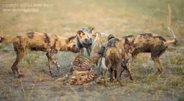 Karana kills wild dog leader