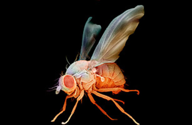 Fruit Flies sent into space