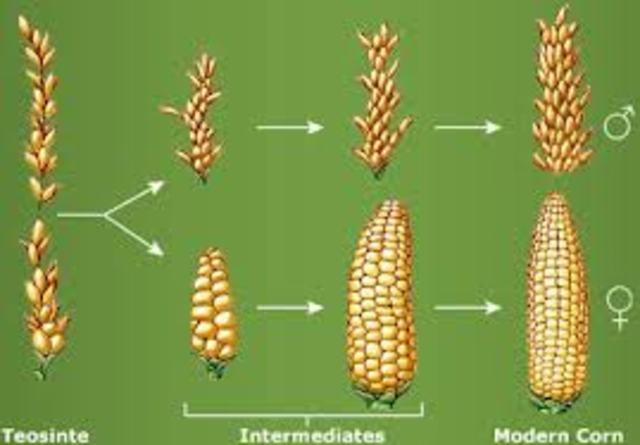 Image result for History of corn